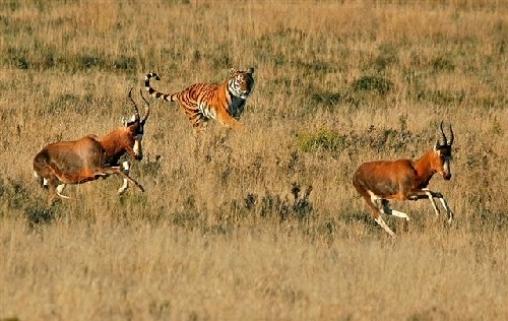 Тигры и антилопы