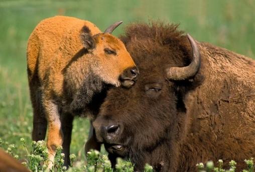 Бизоны в степи