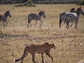 Гепард и зебры